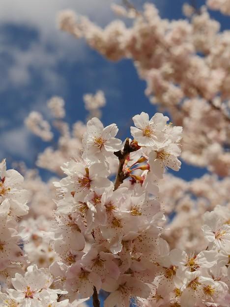 青空には桜