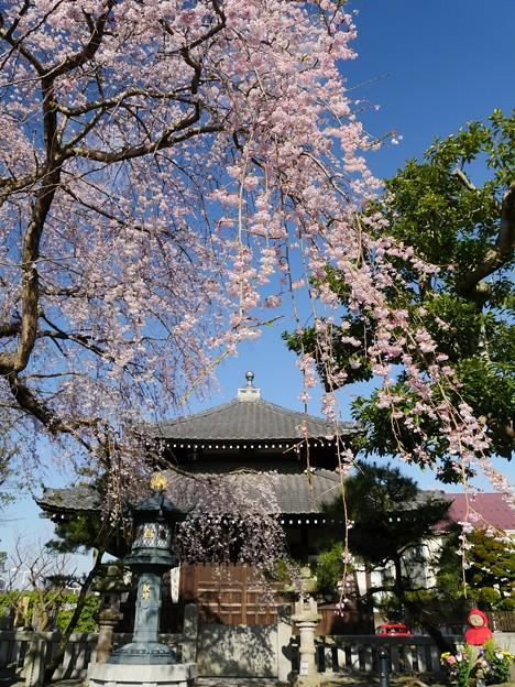 鎌倉・本覚寺・枝下桜