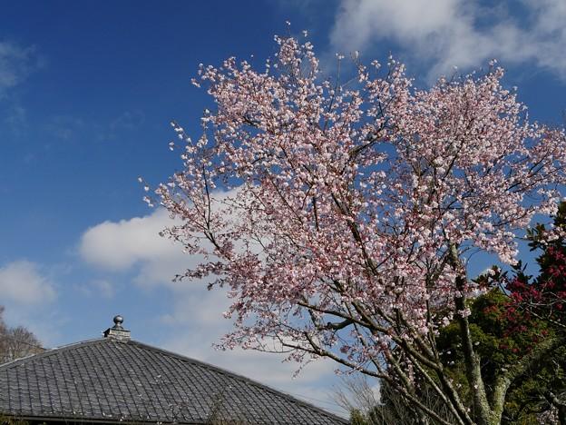 北鎌倉・東慶寺・コヒガンザクラ