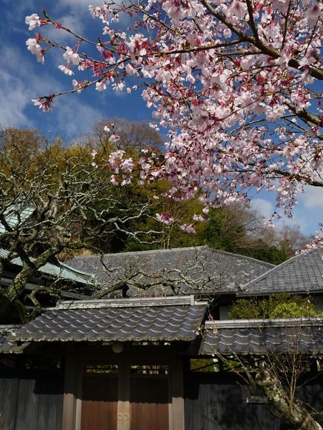 東慶寺のコヒガンザクラ