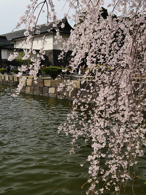 東京・皇居・枝下桜