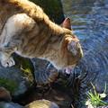 Photos: 水飲む猫
