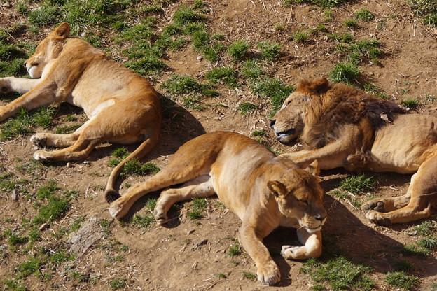 ライオンは寝ていた