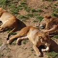 写真: ライオンは寝ていた