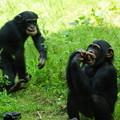 チンパンジー