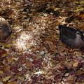 写真: 枯れ葉と鴨