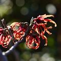 写真: 赤花万作