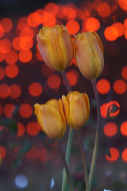 写真: 夜のチューリップ