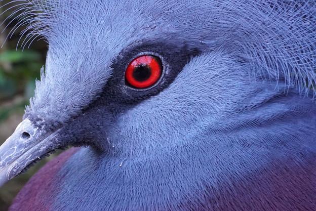 赤い目をした鳩