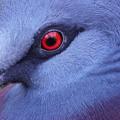 写真: 赤い目をした鳩