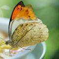 写真: 妻紅蝶