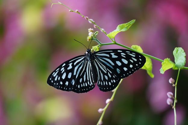 写真: 温室の蝶