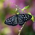 Photos: 温室の蝶