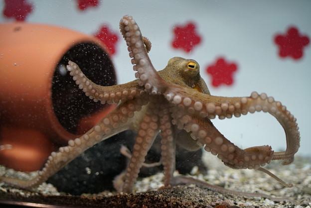 写真: 蛸