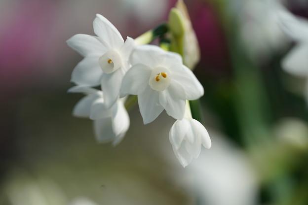 写真: 白房水仙