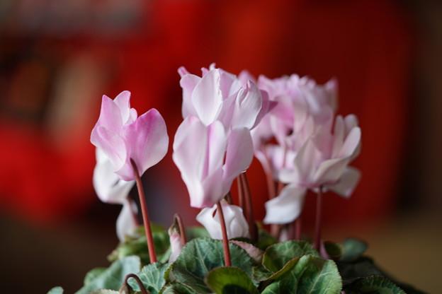 写真: ピンクのシクラメン