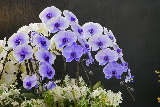 青い胡蝶蘭