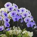 写真: 青い胡蝶蘭