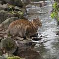 写真: 水辺の猫