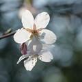 写真: 玉縄桜