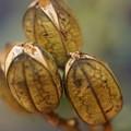 写真: ウバユリの種