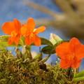 写真: 橙色の蘭