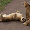 写真: 吠えるライオン