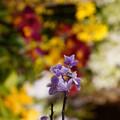 Photos: 蘭の花