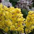 Photos: 黄色い蘭