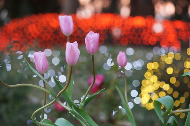 Photos: ピンクのチューリップ