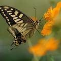 照片: 蝶