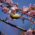 写真: 桜に目白