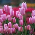 写真: ピンクのチューリップ