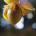 照片: バナナの花
