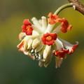 写真: 赤花ミツマタ