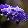 写真: 青い蘭