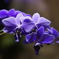 Photos: 青い蘭