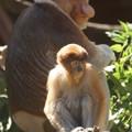 写真: 天狗猿