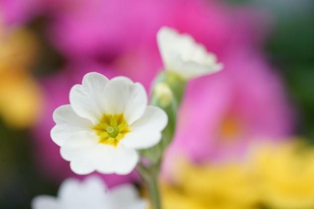 写真: 白いプリムラ