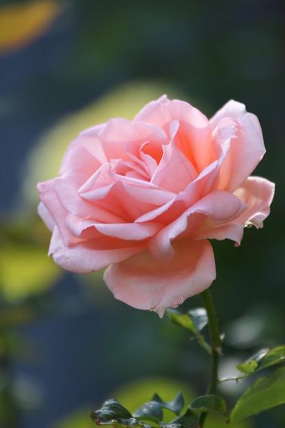 ピンクの薔薇