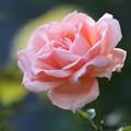照片: ピンクの薔薇