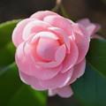 写真: ピンクの椿