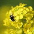 写真: 菜の花とハナアブ