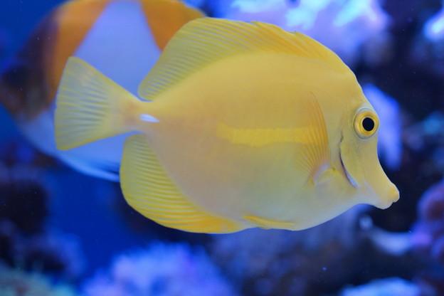 黄色い熱帯魚