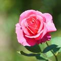 照片: ピンクのバラ