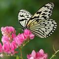 写真: 大きな蝶