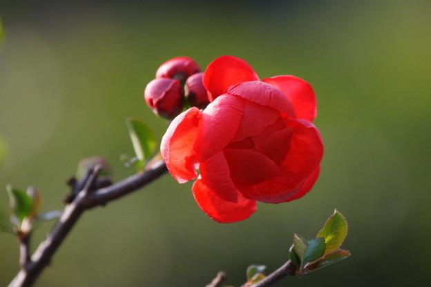 赤いボケの花