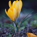 写真: 黄色いクロッカス