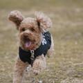 写真: 走る犬