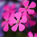 写真: ピンクの花